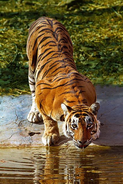29_Tigress Of Ranthambore