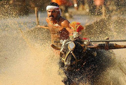 39_Kadri Kambala Buffalo Race Mangalore