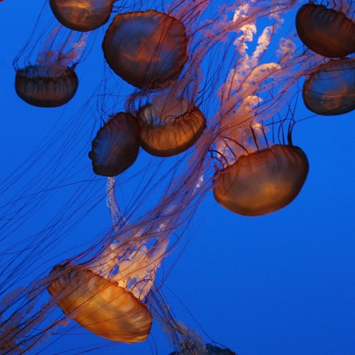Group of Jellyfish Picture