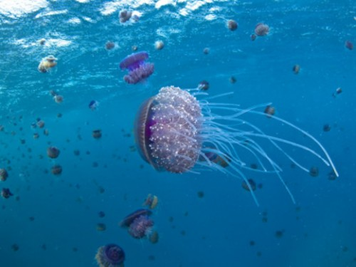 Purple Ocean Jelly Fish