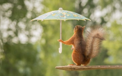 Funny Squirrel With Umbrella Funny Wallpaper